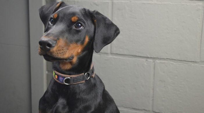 Osnove dresure šteneta dobermana: Kućni ljubimci psi