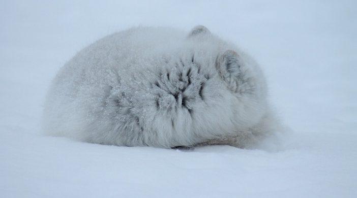 Polarna lisica: Zanimljivosti o divljim životinjama